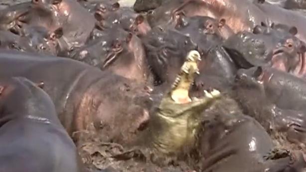 Lọt giữa bầy hà mã, cá sấu số đen kêu thảm thiết