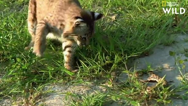 Rắn dùng tuyệt chiêu thoát nanh vuốt mèo rừng