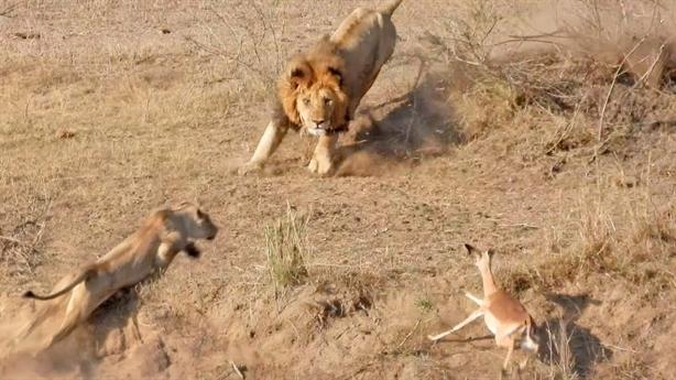 Linh dương chơi chiêu độc, đôi sư tử tẽn tò chịu thua