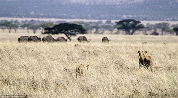 Những kẻ săn mồi nhắm tới đàn trâu rừng đang ăn cỏ gần đó.