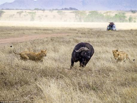 Ngay khi thời cơ thuận lợi, đàn sư tử tách trâu rừng ra khỏi đàn của mình.