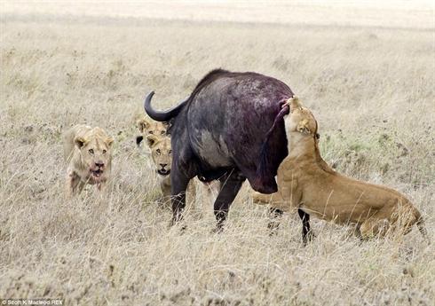 Trâu rừng đơn độc phải chống trọi với cả bầy sư tử hung dữ tấn công từ mọi phía.