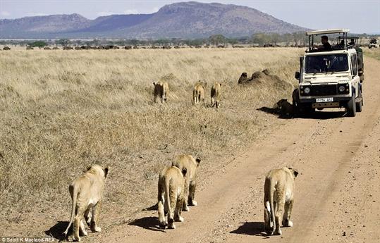 Đàn sư tử đang tiến tới mục tiêu của mình trong một khu bảo tồn ở Tanzania.