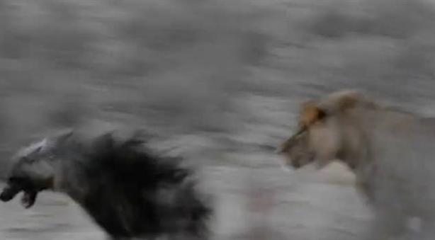 Linh cẩu đơn độc chết thảm dưới tay sư tử