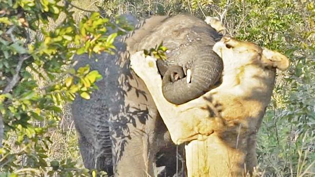 Tính chén thịt voi không được, sư tử tháo chạy giữ mạng
