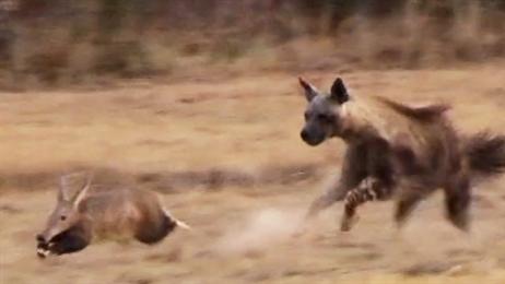 Lợn đất quý hiếm khiến linh cẩu đói ôm hận
