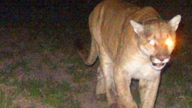 Hoảng hồn sư tử núi lao vào nhà tấn công chó