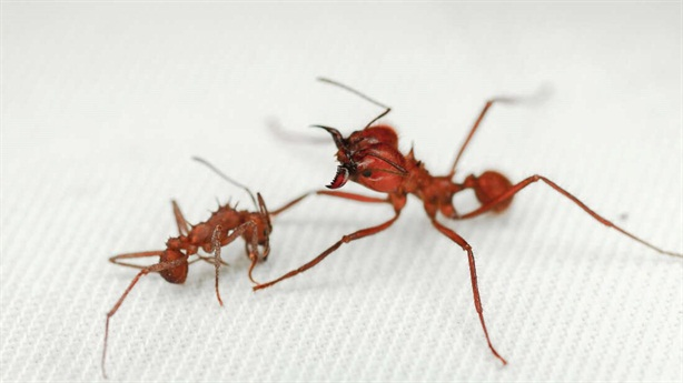 """Kỳ lạ kiến có lớp """"giáp"""" chưa từng thấy ở côn trùng"""