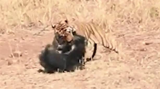 Cú đảo ngược tình thế của gấu khiến hổ bỏ chạy