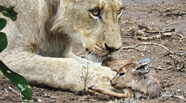 Sư tử âu yếm linh dương con: Có ăn thịt?