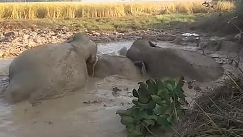 Đàn voi bị sa lầy, người dân cứu bằng cách bất ngờ
