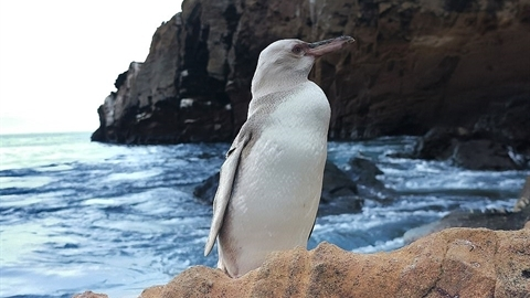 Xuất hiện chim cánh cụt trắng cực kỳ quý hiếm