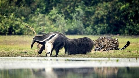 Báo đốm rình rập thú ăn kiến khổng lồ: Kết 'lạ'