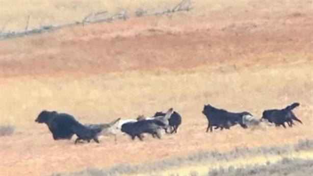 Gấu xám đơn độc chiến cả bầy sói: Kết mất mặt