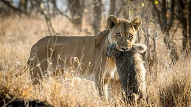 Gặp sư tử, khỉ đầu chó con nhận số phận thảm thương