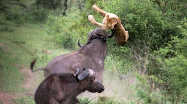Chuẩn bị chén mồi, sư tử bị húc tung người đau đớn