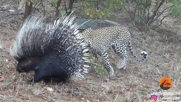 Báo mạo hiểm săn nhím lớn: Kết buồn