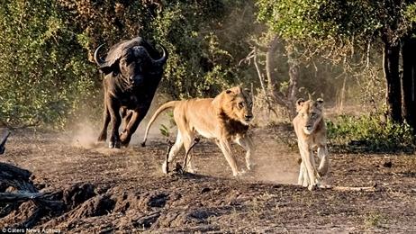 Gặp bầy trâu dữ, đôi sư tử gầy nhận kết nhục nhã