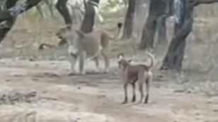 Chó rừng một mình đại chiến với sư tử: Kết bất ngờ