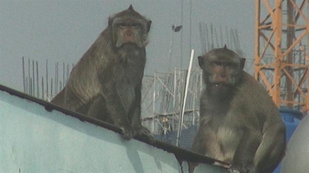 Đàn khỉ đại náo khu dân cư: 'Nên bắn thuốc mê'