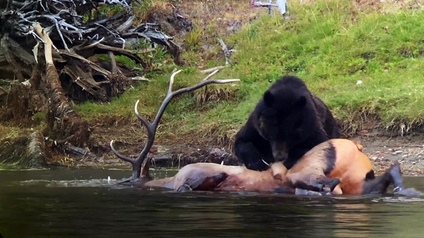 Gấu xám khó nhọc xé xác nai sừng tấm khổng lồ