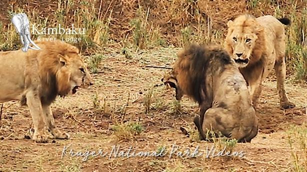 'Vua sư tử' già bị phế truất, nhận kết thảm thương