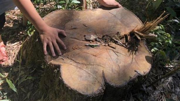 Xẻ thịt rừng phòng hộ:Phó Thủ tướng chỉ đạo điều tra
