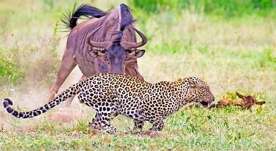 Tử chiến, linh dường đầu bò mẹ cứu con khỏi báo dữ