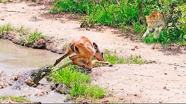 Vượt ải cá sấu, linh dương mất mạng vào tay báo dữ