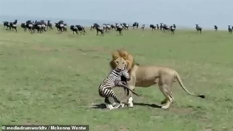 Ngựa vằn mới sinh chưa khô lông gặp sư tử: Kinh hoàng
