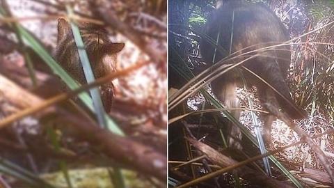 Video chấn động khẳng định hổ Tasmania chưa tuyệt chủng?