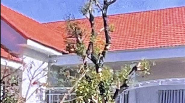 Đội Quản lý thị trường mất ba cây xanh: Thẩm định cây?