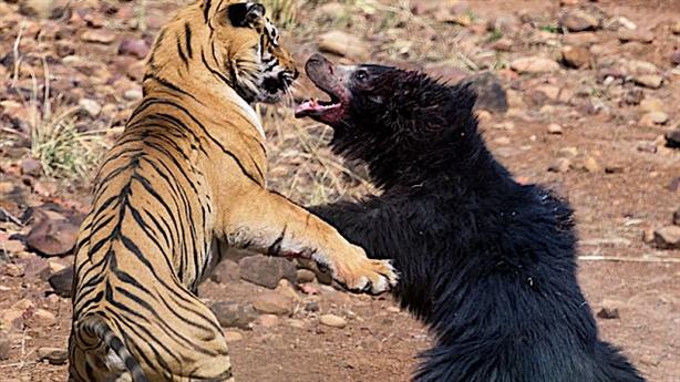 Bảo vệ con, gấu mẹ tử chiến với hổ dữ