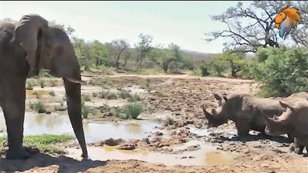 Voi đơn độc đối đầu 5 tê giác: Khẳng định đẳng cấp