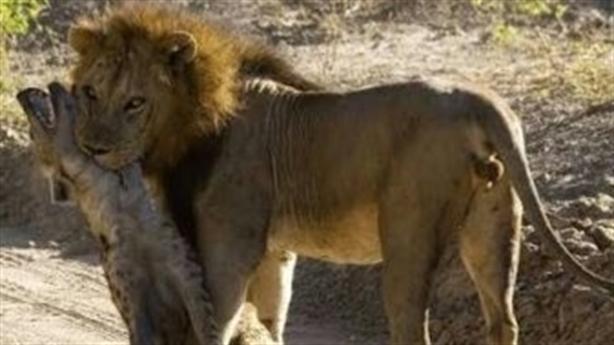 Bị sư tử ngoạm chặt, linh cẩu thoát chết thần kỳ