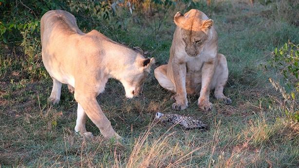 Gặp đôi sư tử, mèo hoang liều mình vẫn chết thảm