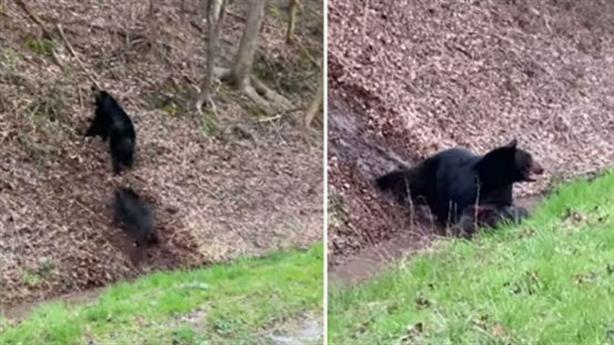 Gấu đen quyết tàn sát lợn rừng lớn: Kết hẫng hụt