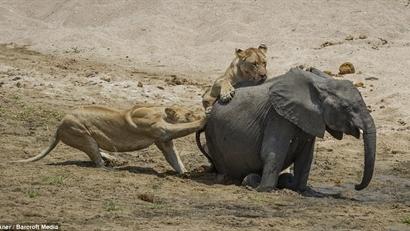 Đôi sư tử đói ranh mãnh khiến voi bỏ mạng tức tưởi