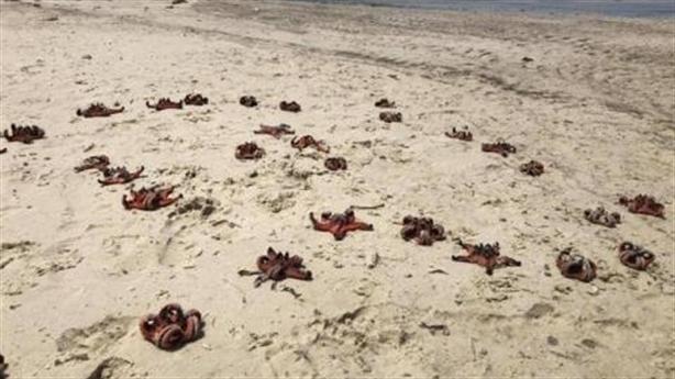 Sao biển chết khô tại Phú Quốc: Nhiều người Việt xấu xí