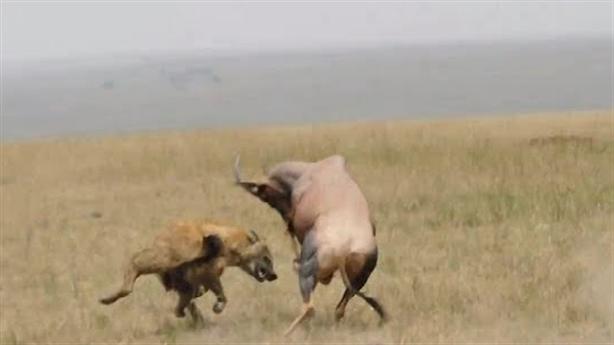 Đôi linh dương tử chiến linh cẩu cứu con: Kết thảm