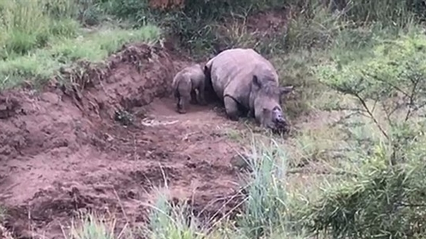 Tê giác con cố bú mẹ đã chết: Hé lộ bi kịch