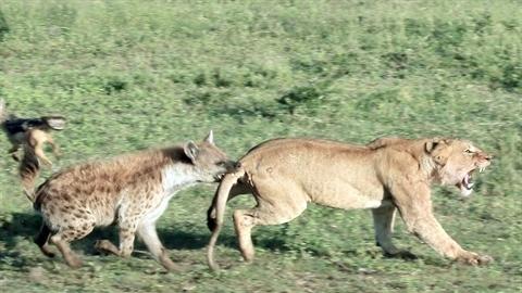 Bị linh cẩu cướp mồi, sư tử còn nhận cú đau điếng