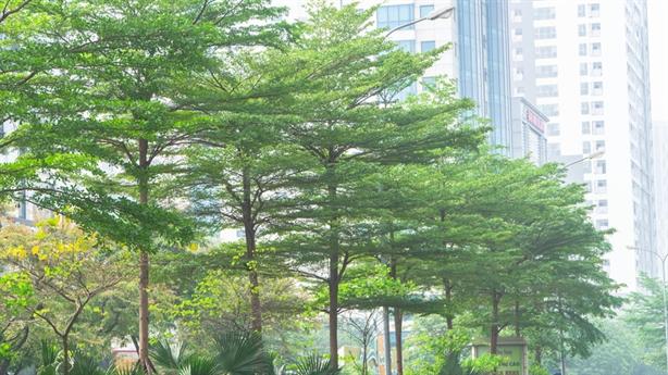 Chọn cây xanh đô thị: Hà Nội nên nghe nhiều hơn