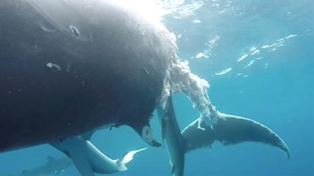 Kinh hãi đàn cá mập khổng lồ xâu xé thịt cá voi