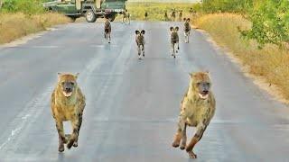 Chó hoang và linh cẩu dàn hàng chiến giữa đường: Kết sốc