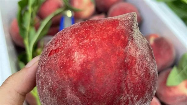Đào lạ đỏ thẫm tràn về chợ Việt: '100% hàng Trung Quốc'