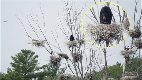 Gấu đen làm điều phi thường để chén tổ chim lớn