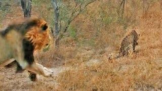 Phút lơ đễnh, báo hoa mai suýt bị sư tử thịt