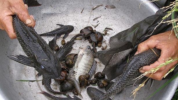 Vì sao cá lau kính xuất hiện nhiều ở Long An?