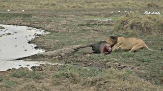 Sư tử và cá sấu lớn tranh mồi: Diễn biến khó lường